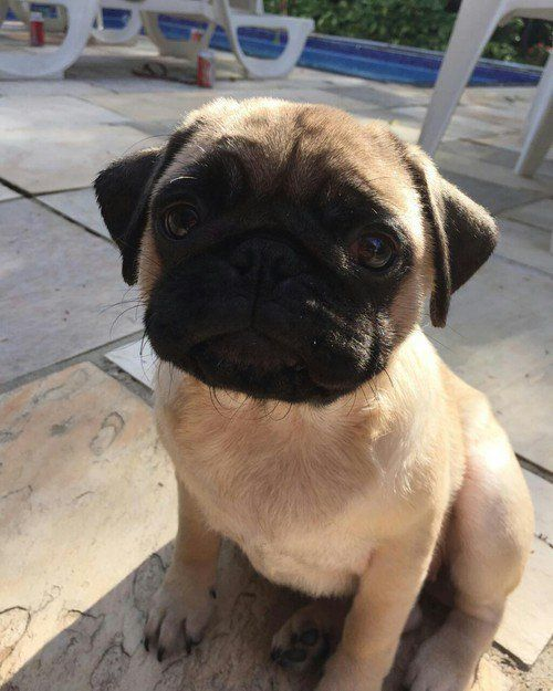 Pin By Carol M Couture On My Life As A Pug Mom Cute Pugs Pugs