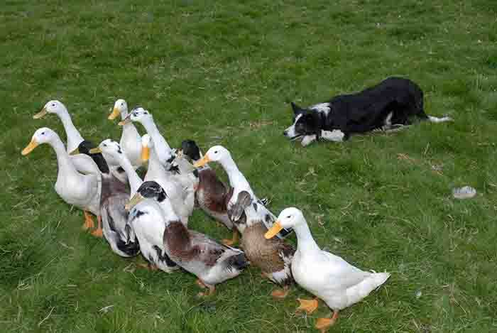 Rounding up the wrong species there...sheepdogs-they'll round anything up!