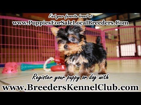 Teacup Yorkie Terrier Puppies For Sale Georgia Local Breeders Near