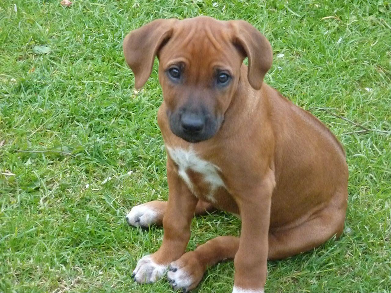 Rhodesian Ridgeback Puppy (id 54523) WallPho