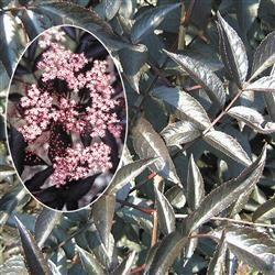 Hyld 'Black Beauty'  Frugten: Store, sorte og i store klaser Anvendelse: Tidligt i september. Vækst: Middel m. overhængende vækst. I øvrigt: Får flotte røde blade Lyserøde blomster om foråret. Botanisk navn: Sambucus nigra.
