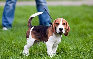 How To Leash Train Your Active Puppy Beagle Puppy Dog Behavior