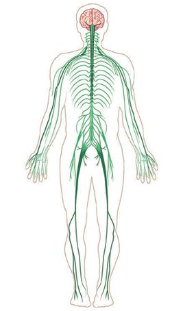 Resultado de imagen de sistema nervioso periferico sin partes | la ...