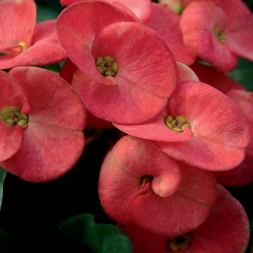 Bunga Euphorbia Oranye Bunga Tanaman Obat Tanaman