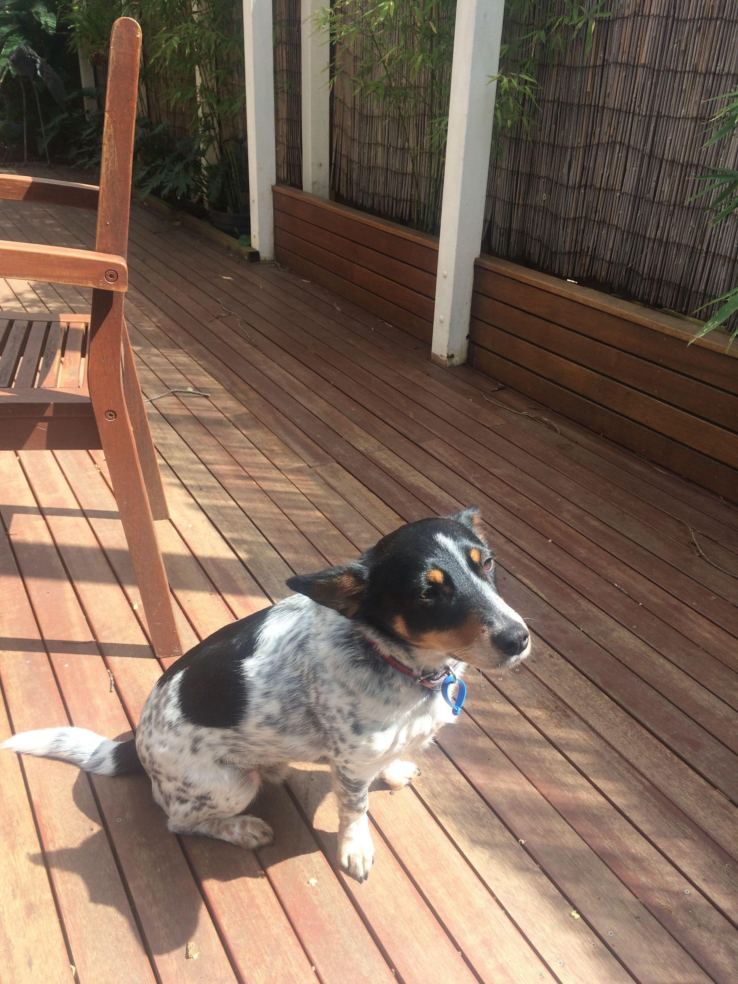 Lenny The Blue Heeler Cross Jack Russell Best Dog Ever A Bonsai