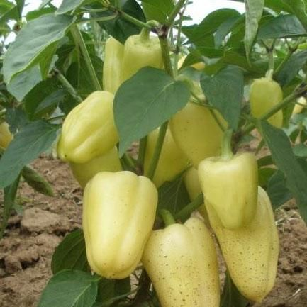 White Bell Pepper | Pepper seeds, Seeds and Pepper