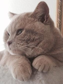 Www Silverbrookcattery Com British Shorthair Kittens Kittens For Sale Cats For Sale Cat British Shorthair Kittens British Shorthair Cats Kitten Adoption