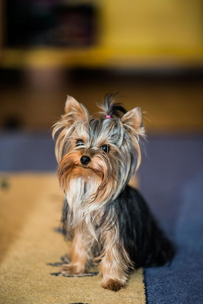 The Yorkshire Terrier: Many small dogs are noisy, but the Yorkie definitely puts the yap in yappy.