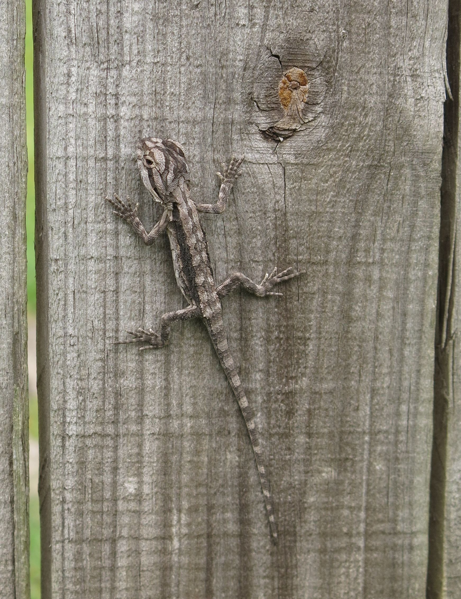Baby Bearded Dragon visitor in our backyard. So cute ...