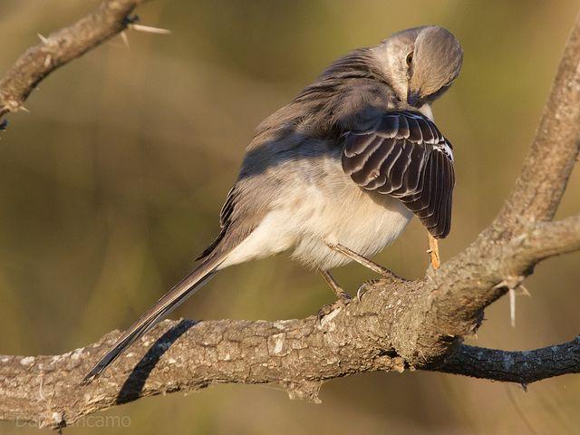 preening bird