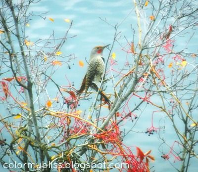 Flicker eating Virginia Creeper Berries, Liberty Lake, WA #birds #lake