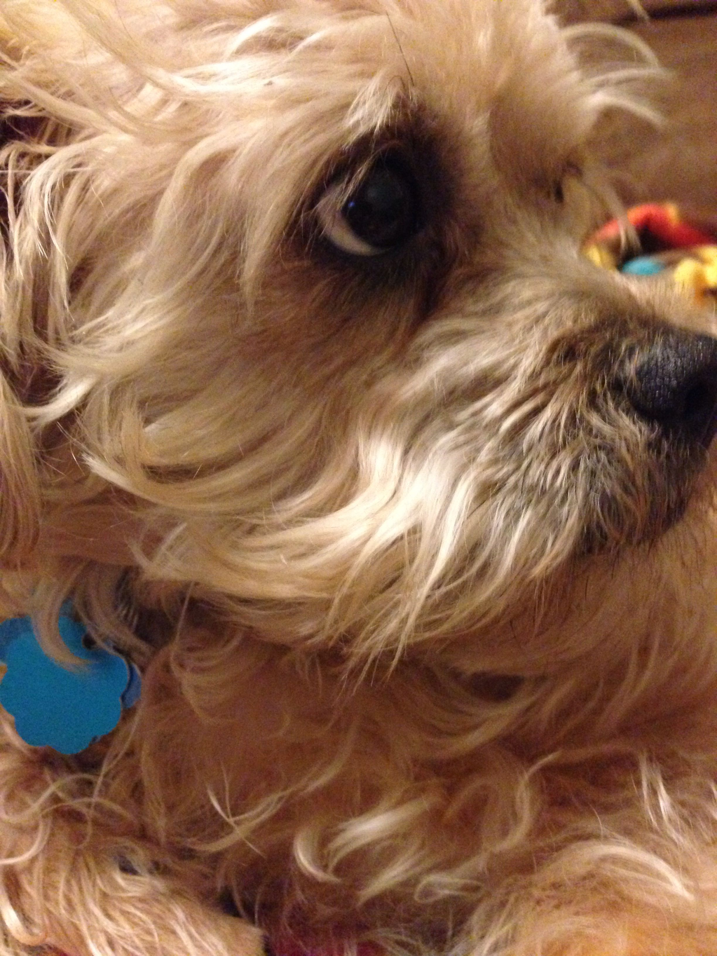 Sully Looks just like our Maggie Mae Yorkie, Most