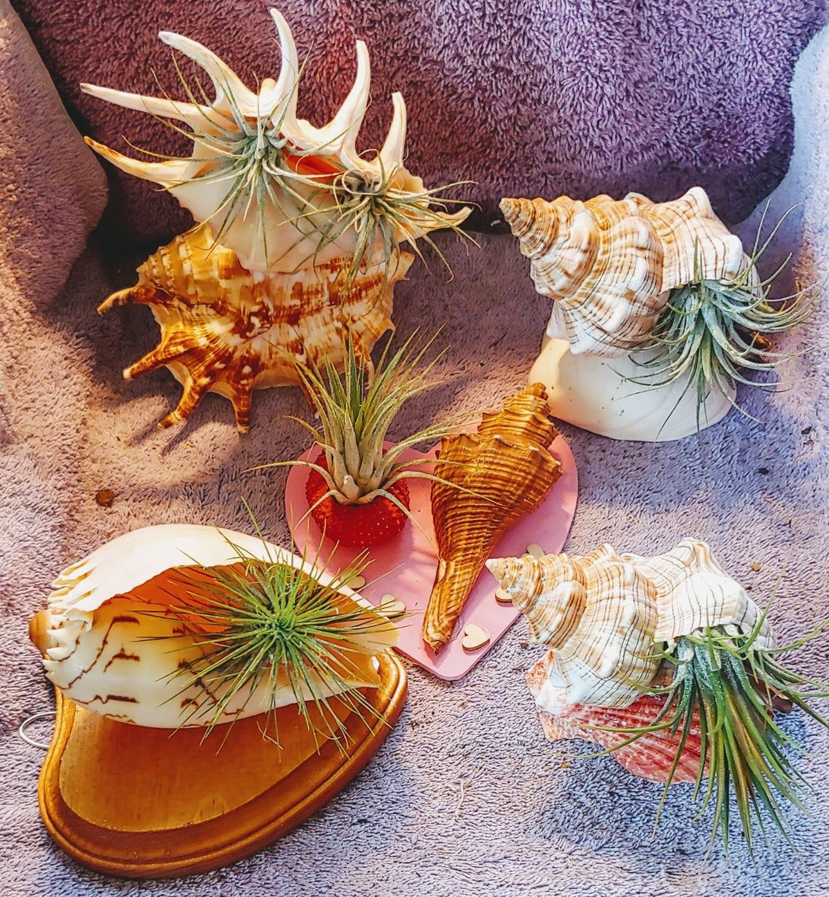 large sea shells & Air Plants Large air plants, Air