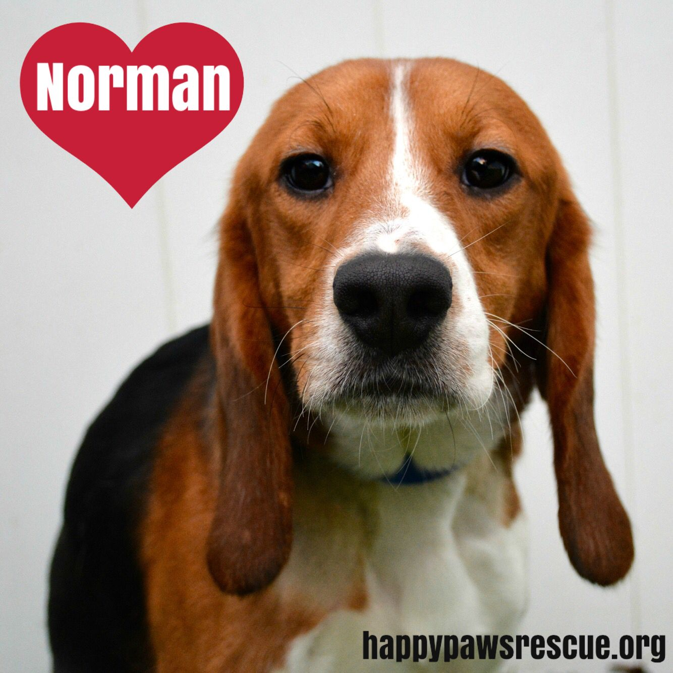 Adopt Norman On Adoptable Beagle Paws Rescue Pet Finder