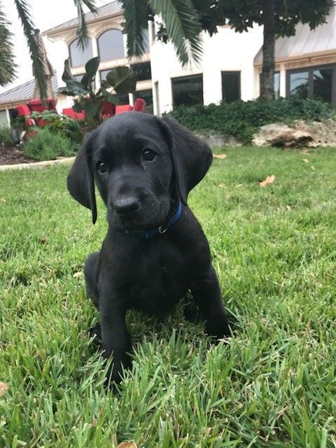 Labrador Retriever Puppy For Sale In Marion Tx Adn 51137 On