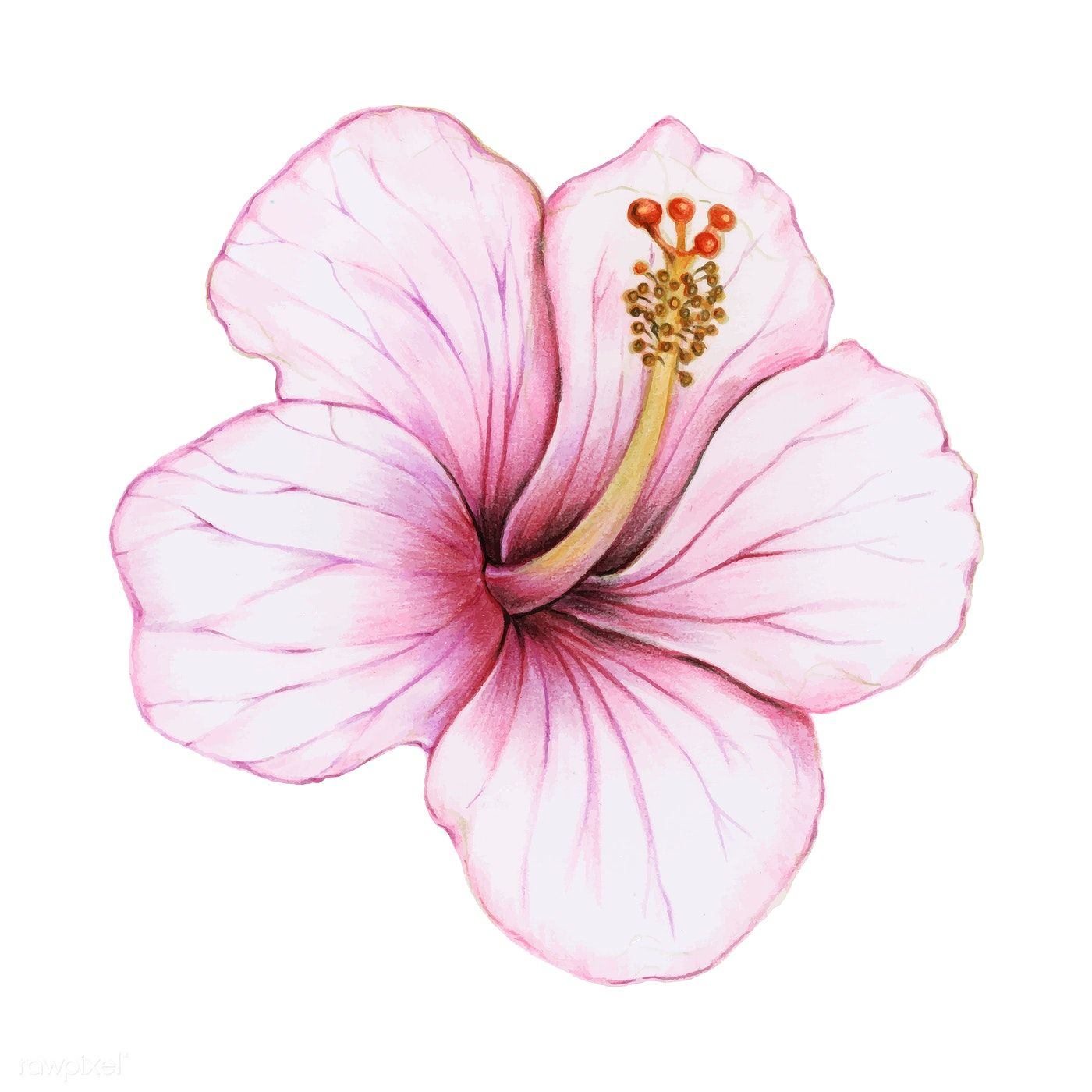 Download Premium Vector Of Illustration Of Hibiscus Flower Watercolor Hibiscus Flower Drawing Watercolor Flowers Hibiscus Drawing