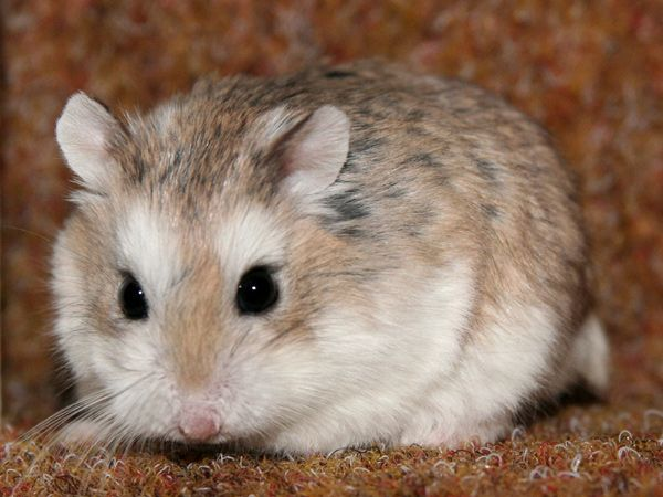 Information About Winter White Dwarf Hamster Care And Facts