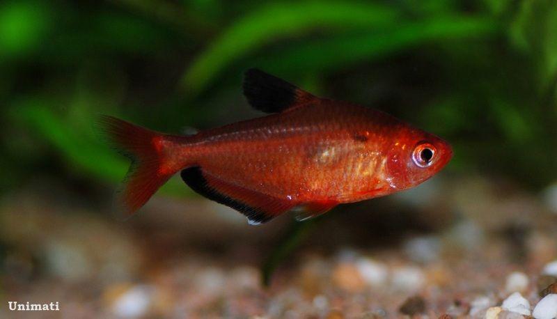 Hyphessobrycon Eques Serpae Tetra Aquarium Fish Fish Pet Pets