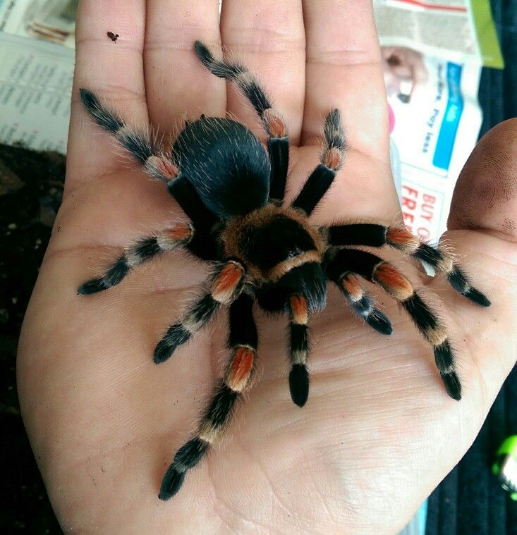 Dorothy the Mexican Red Knee