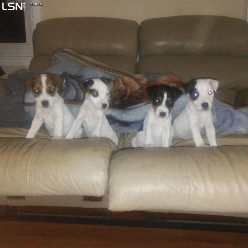 Lsn puppies