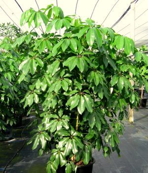 Schefflera Amate Plants are wonderful trees for offices because they rarely drop leaves. Yellow leaves tell you when they need water.