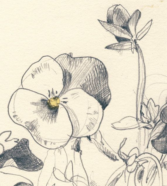 pansy flower drawing - photo #32