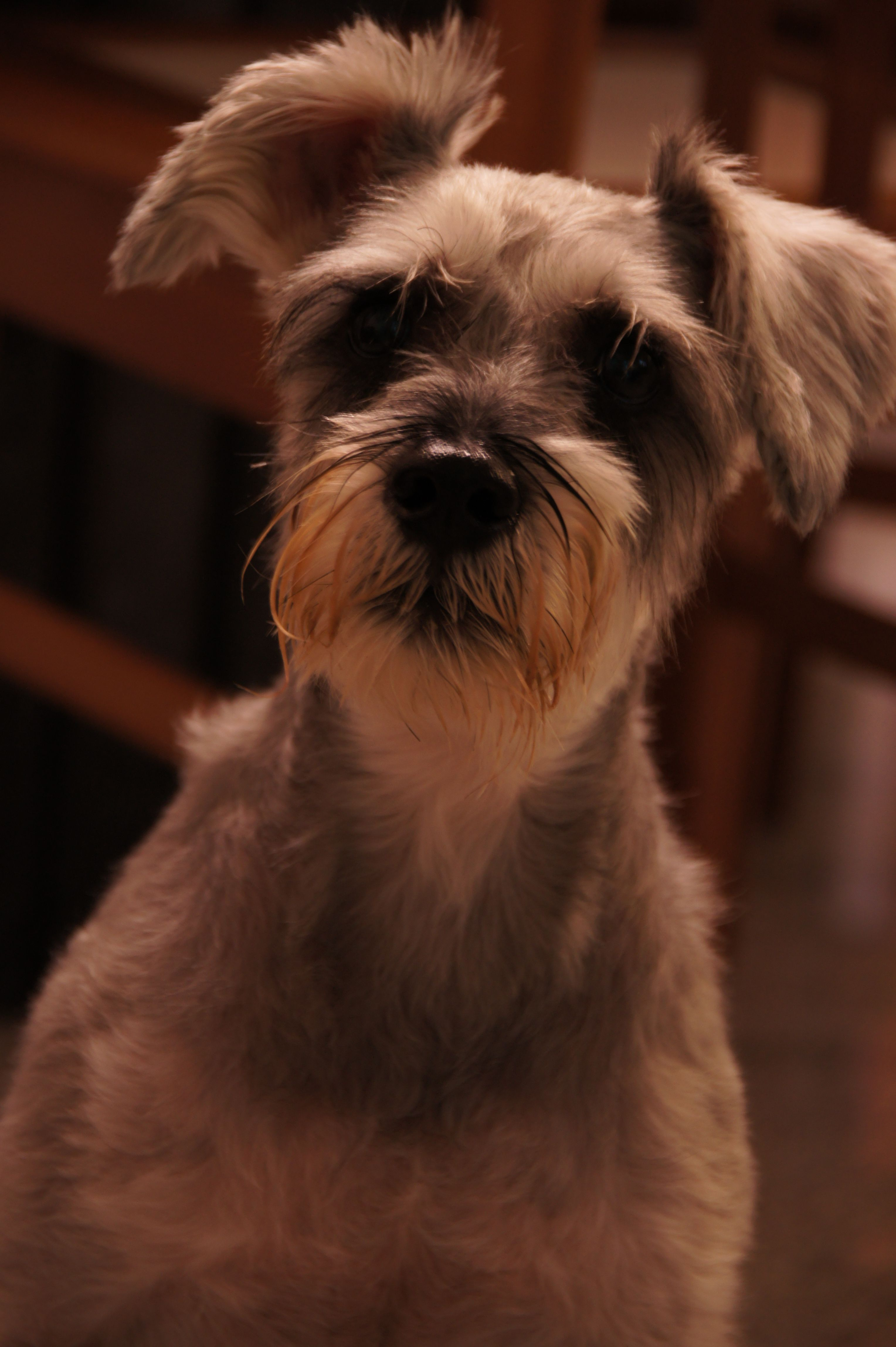 Tramp From Lady And The Tramp Lol Lady And The Tramp Affenpinscher Schnauzer