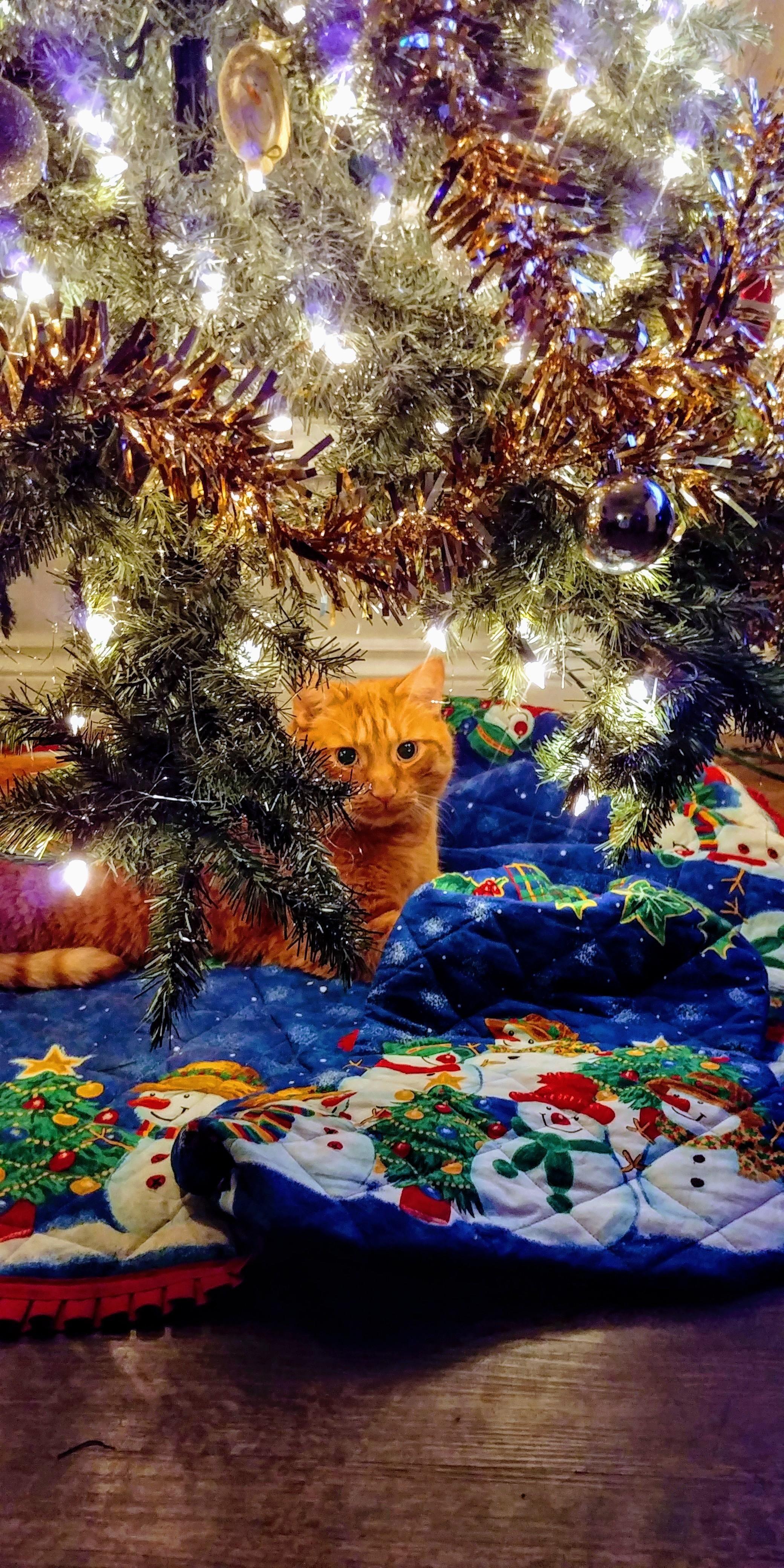 Christmas Cat enjoying our tree! Christmas cats, Orange