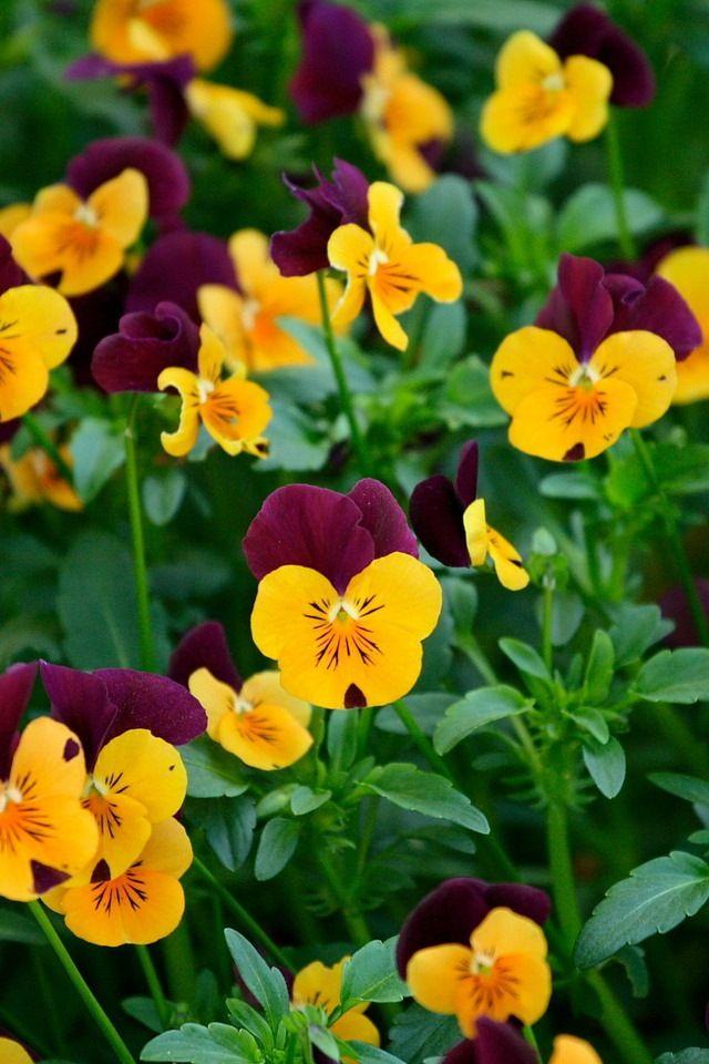 Yellow And Burgundy Pansies Orchid Wallpaper Pansies Flowers Pansies