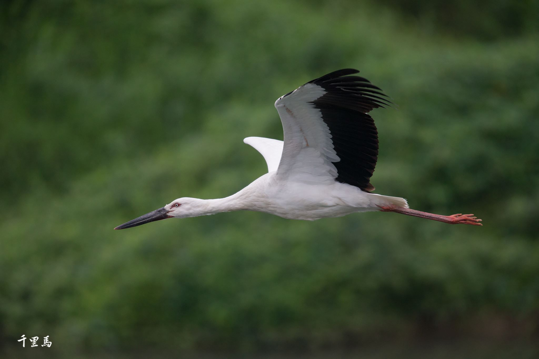 東方白鸛Oriental stork (Ciconia boyciana). Photo: Lima Chin