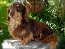 Boudro Chocolate Cream Longhaired Dachshund Puppy Miniature