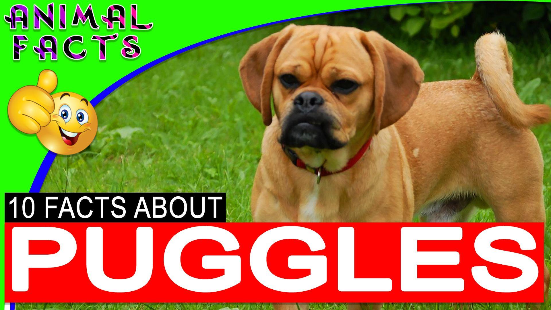 Puggle Dogs By Teresa Brinkley On Puggles Puggle Designer Dogs