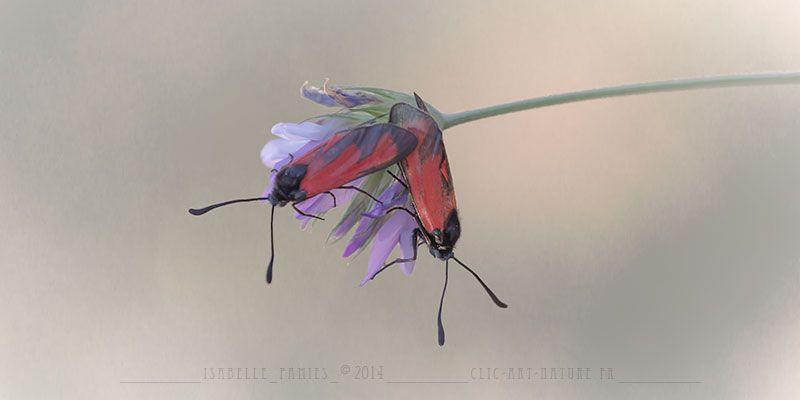 Je Crois Que C Est La Saison Des Amours Chez Les Zygenes Papillon