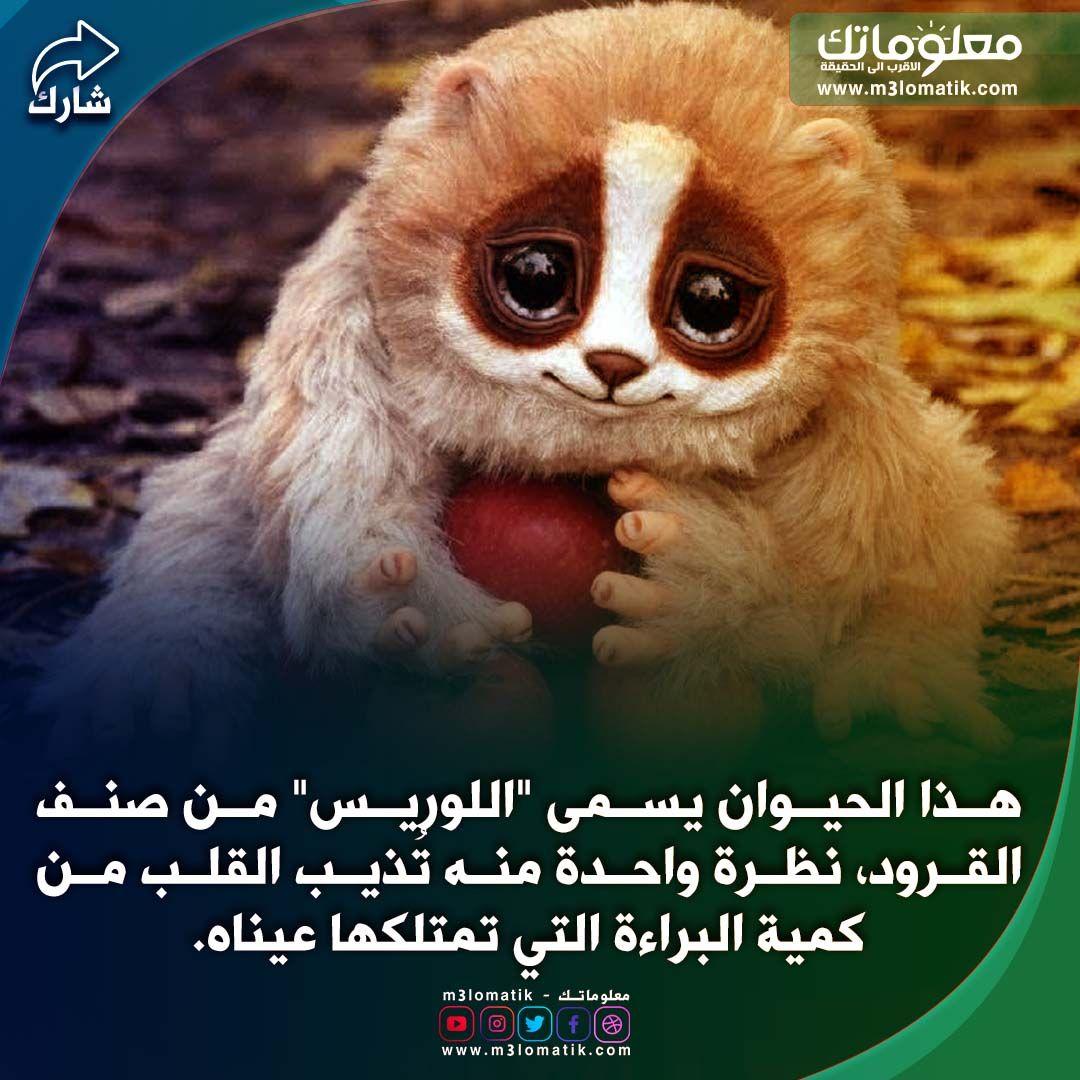 هذا الحيوان يسمى اللوريس Words Quotes Animals Words