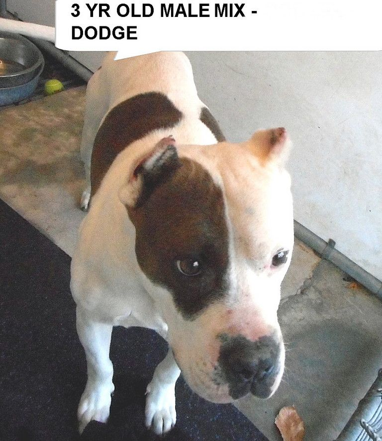 Dodge is a 3 yr old terrier mix dog the shelter is full