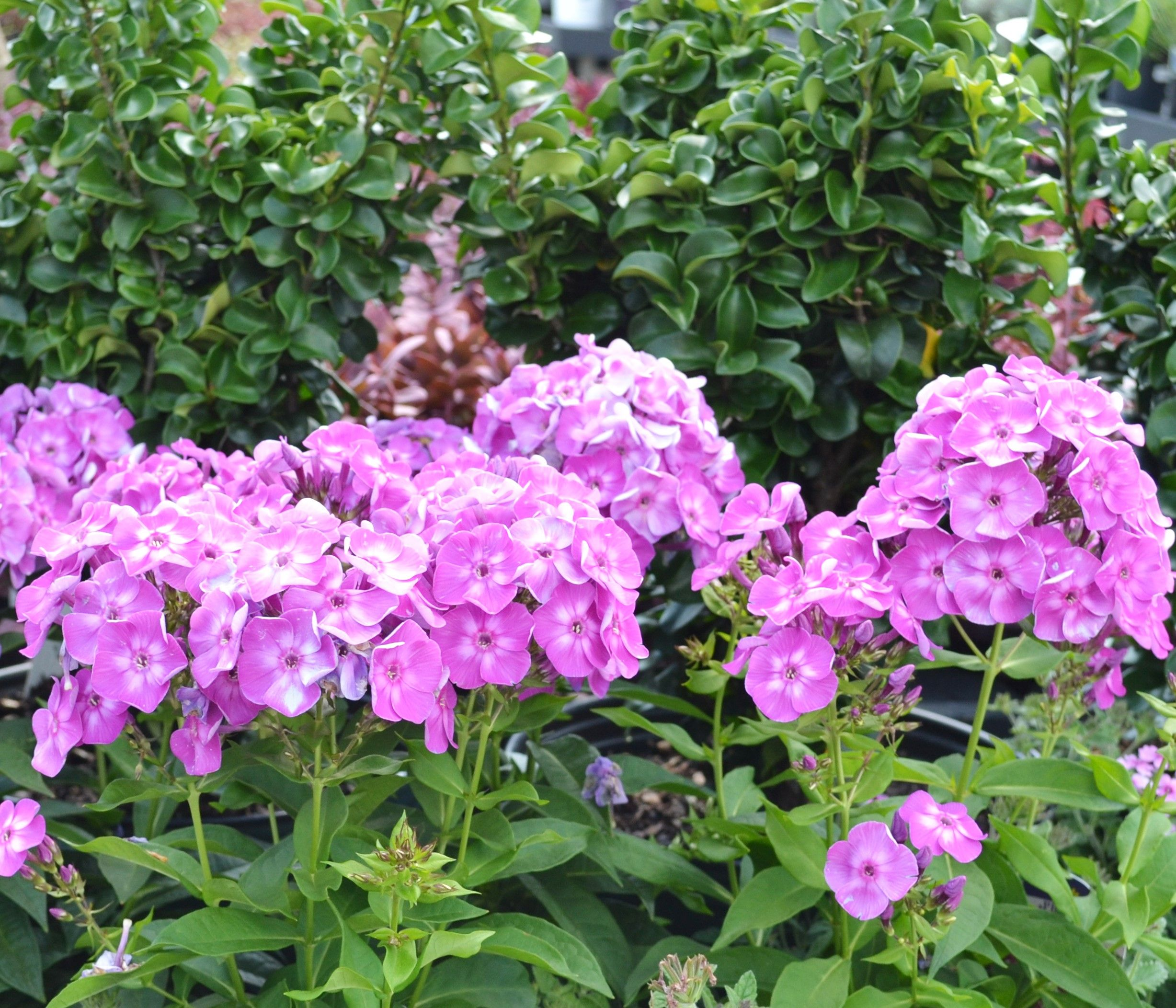 landscape is feet embassy seen reach best tall they improvement variety in girl blog of perennial choice plants gardens for mini a backdrop height varieties garden phlox can another so the rain that almost are glamor has pearl taller