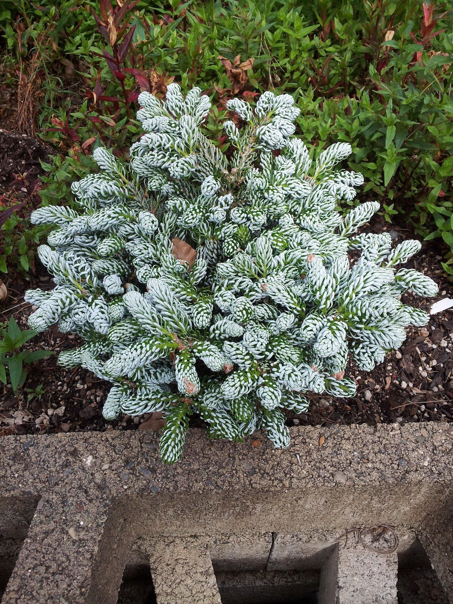 Kohouts Icebreaker Garden And Land Dwarf Evergreen Shrubs
