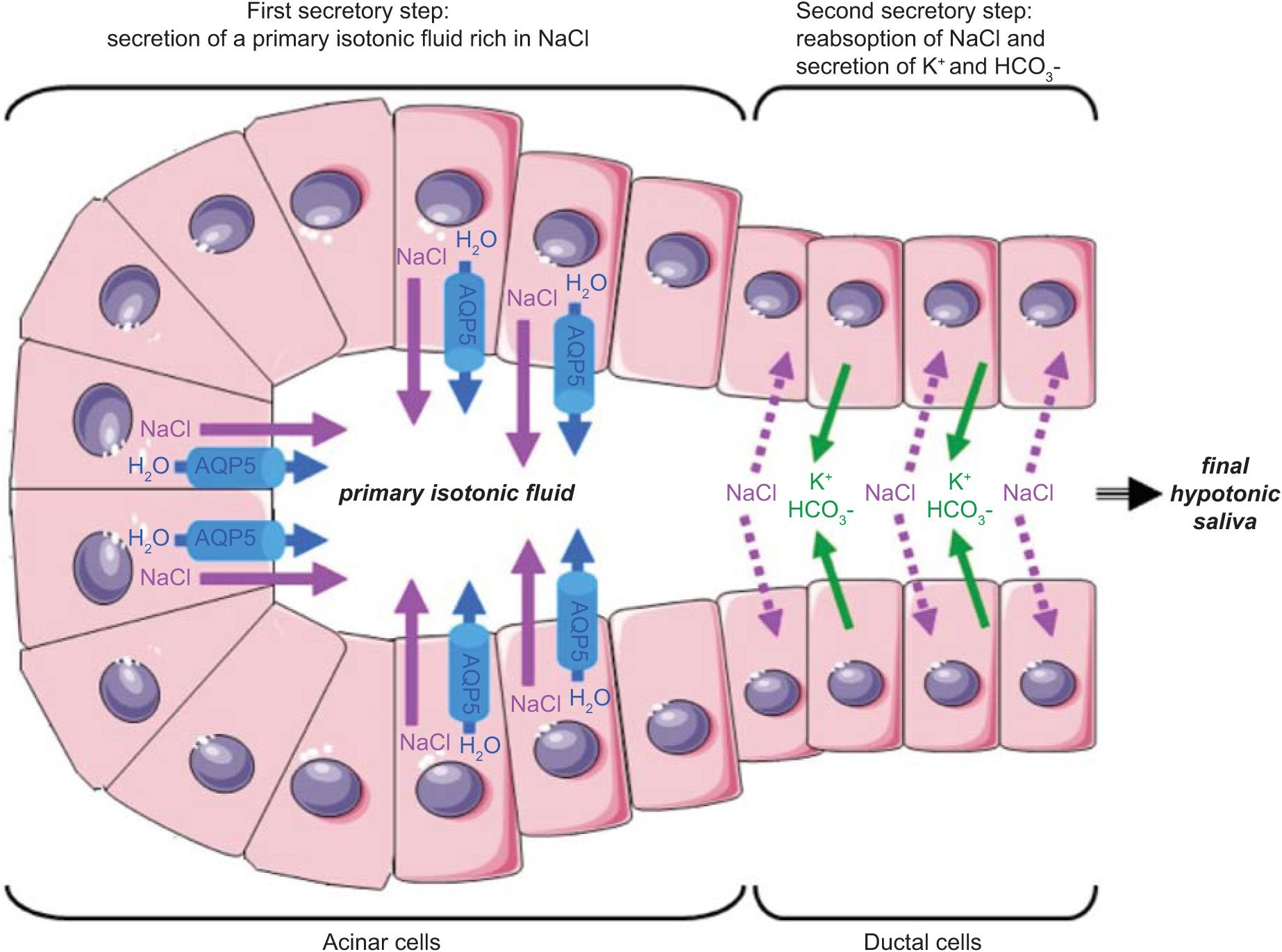 saliva secretion physiology - Google Search | Physiology ...