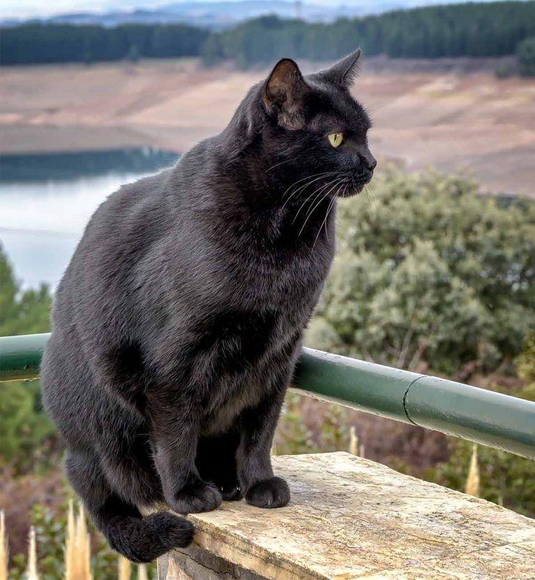 черные коты порода можно комбинировать однотонными