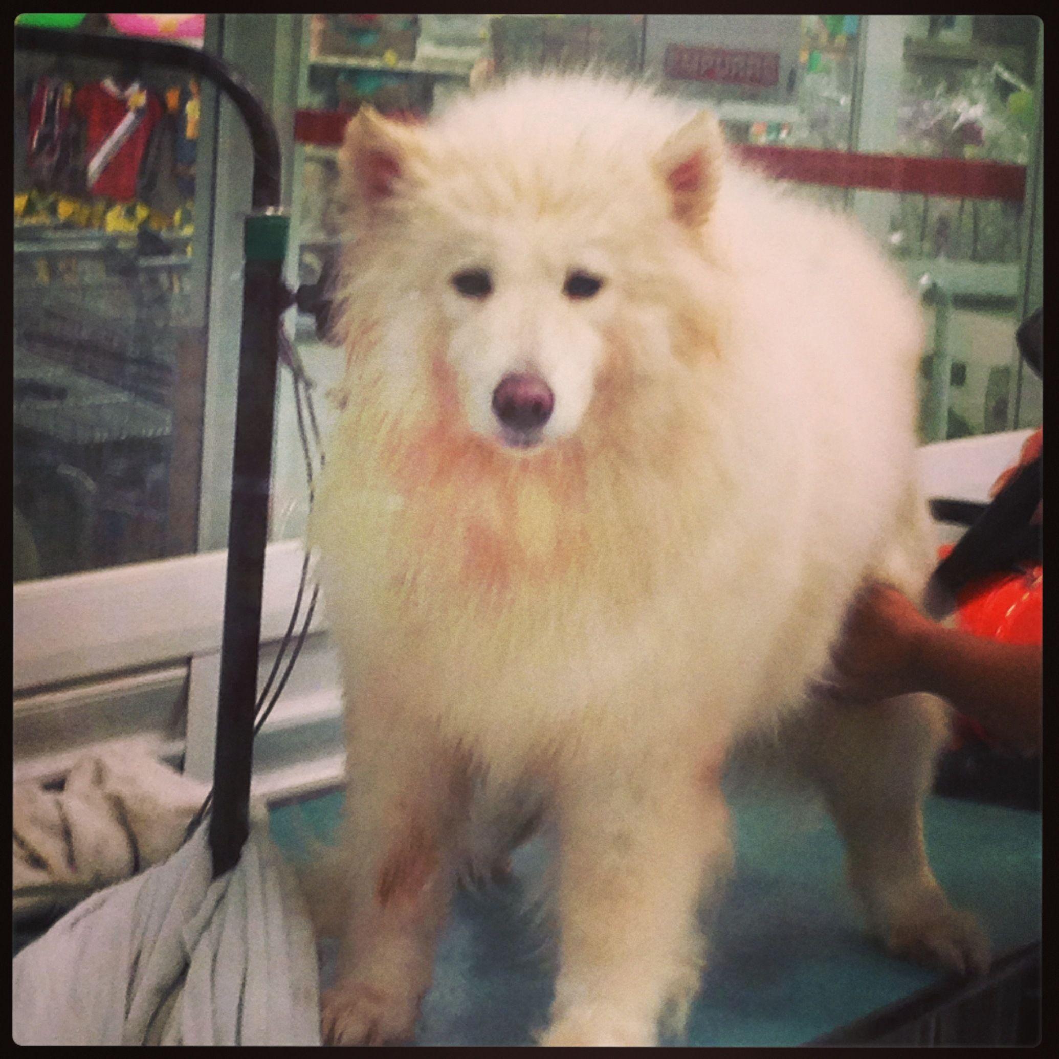 Embelezamento canino - #yuki  #yukituristainsolita  #dog  #scottishterrier #wheatscottie  #cachorro  #cachorroetudodebom  #catioro  #terrierescoces #viagemcompets  #viagemcomcachorro  #cachorroétudodebom #dogsofinstagram #doglover #dogs_of_instagram #instadog #dogsgram #pet #pets #petsofinstagram #pets_of_instagram #petsgram #instapuppy #cute #instacute #instapet #puppylove #puppygram