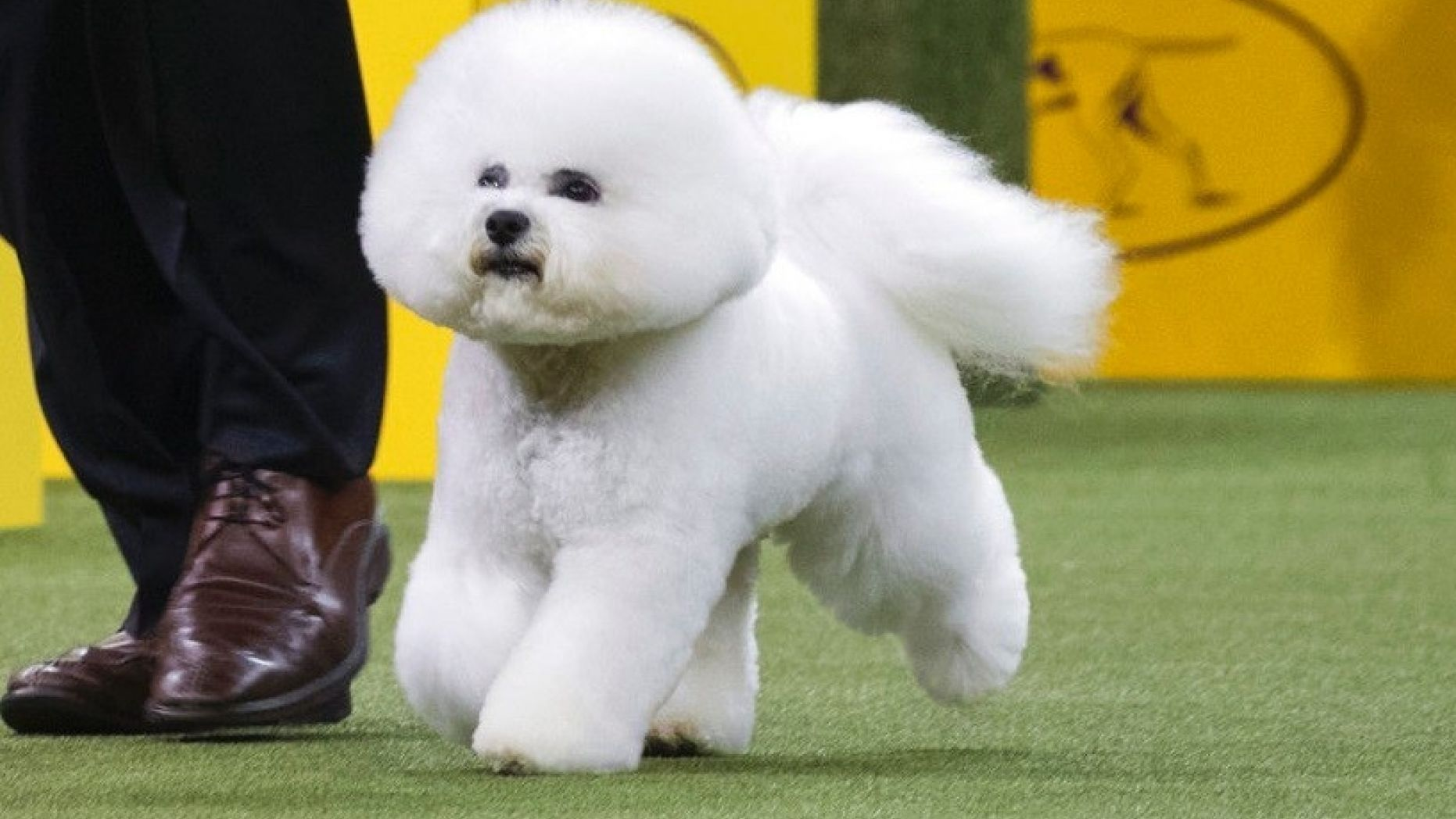 Westminster Dog Show 2018 And The Winner Is Flynn The Bichon Westminster Dog Show Bichon Dog Bichon