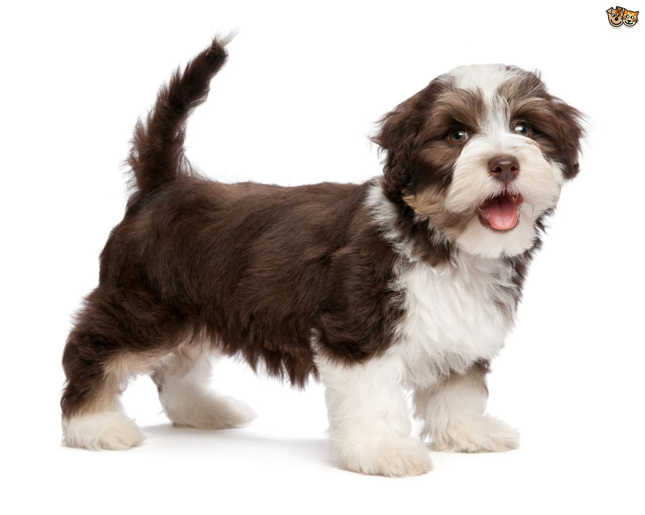 The Havanese dog is Cuba's national dog, originating from ...