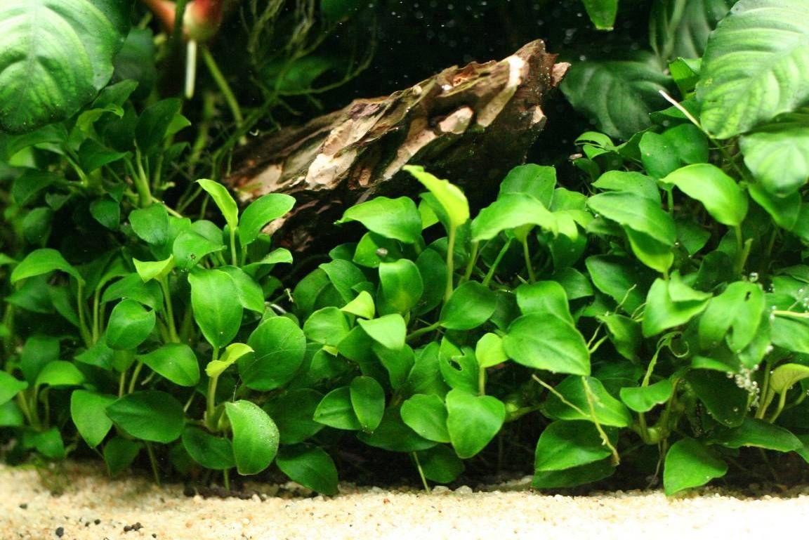 Anubias barteri var nana petite low light aquarium for Petit aquarium