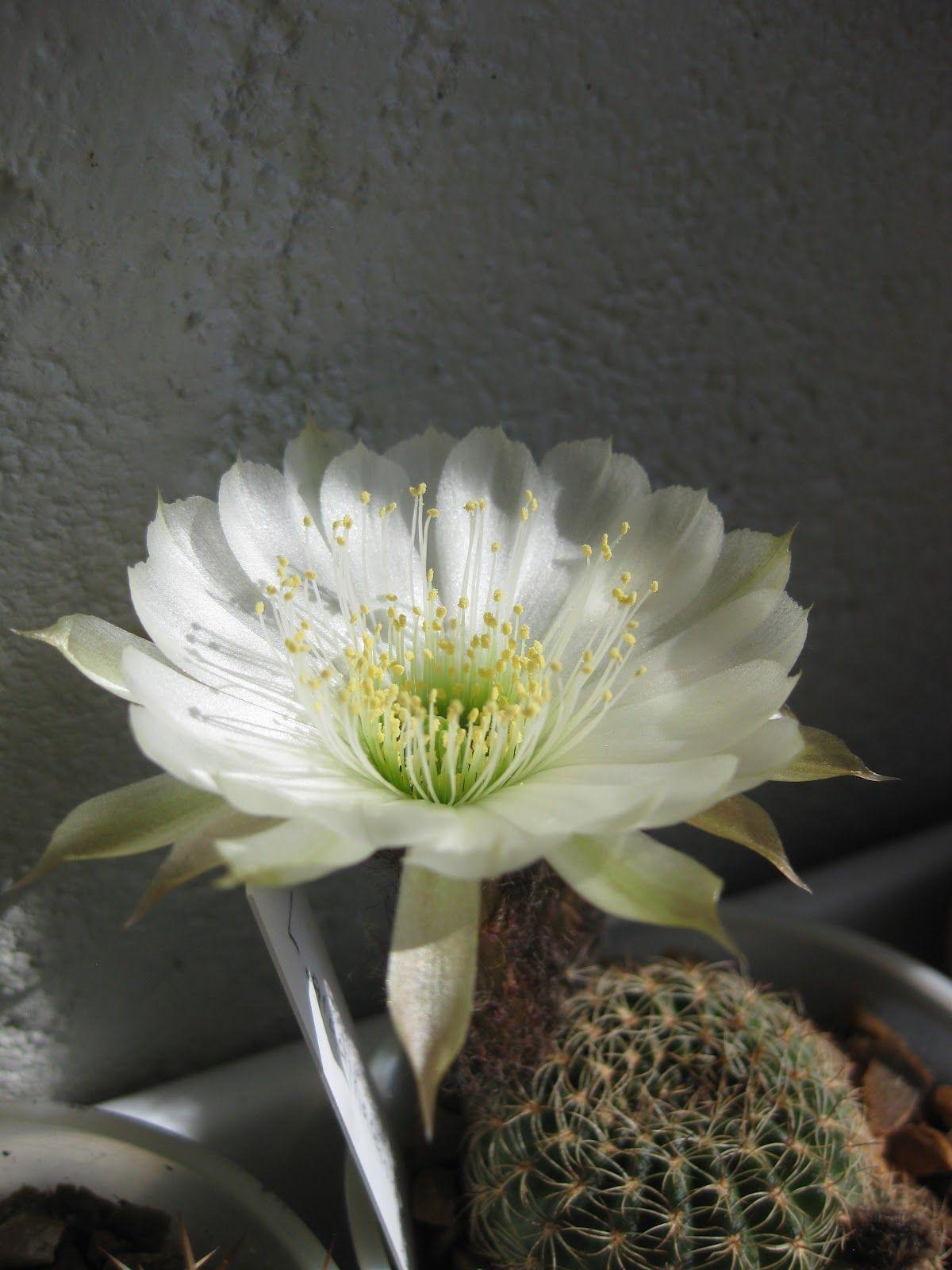 Echinopsis arachnacantha (wit)