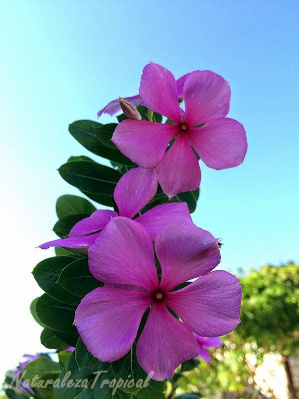 Variedad rosa de vicaria nombre popular de catharanthus for Origen de las plantas ornamentales