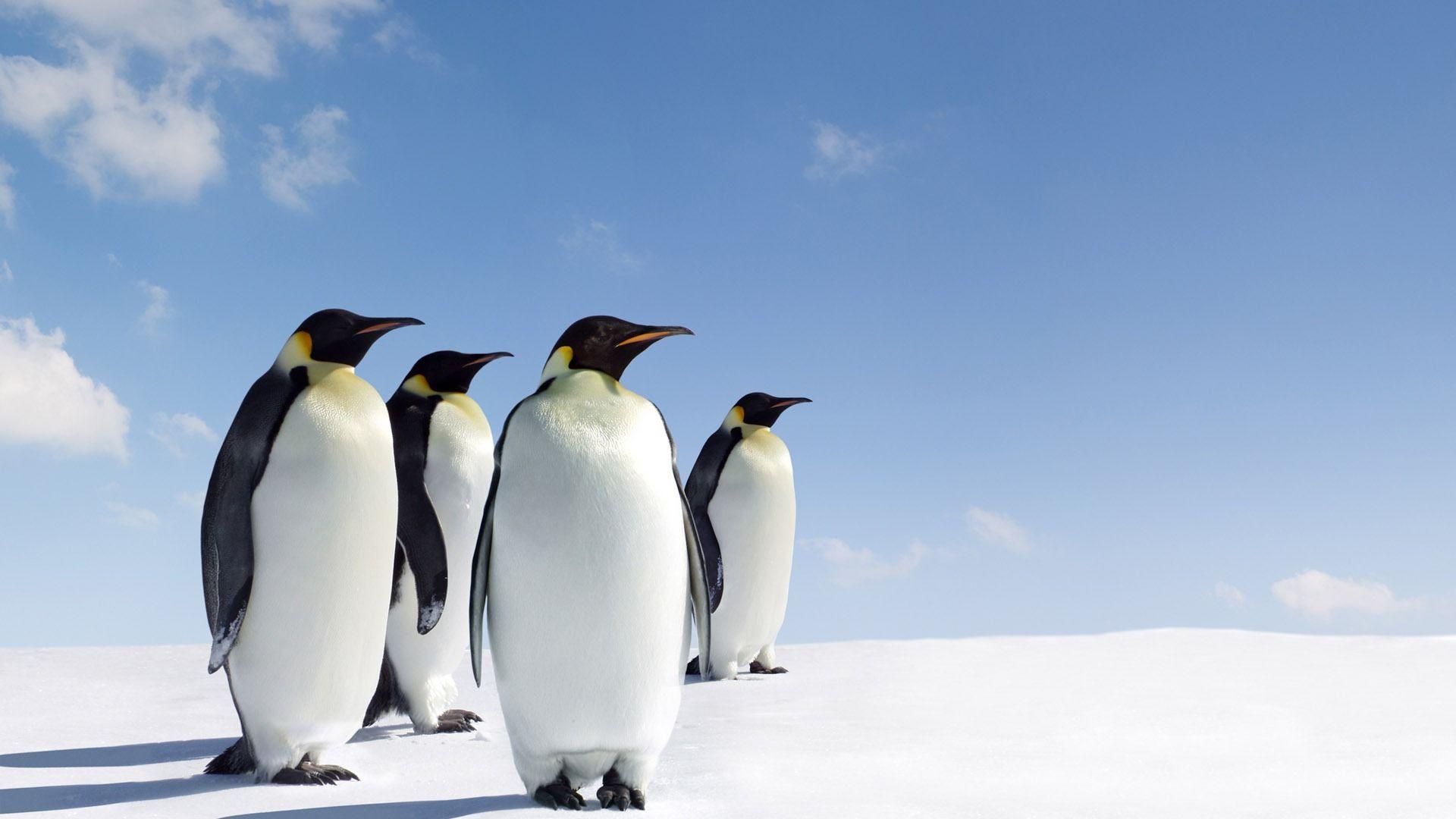 Emperor Penguins Antarctica HD Wallpapers Pinterest Animals