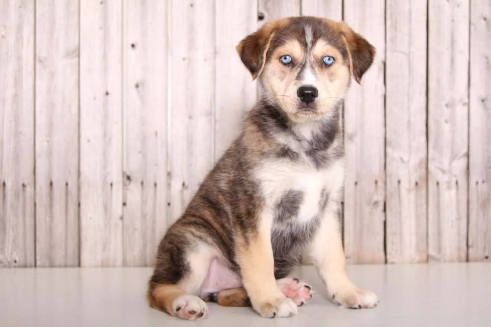 Puppies For Sale In Florida And Nationwide Puppies Online Puppies Puppies For Sale Animal Planet