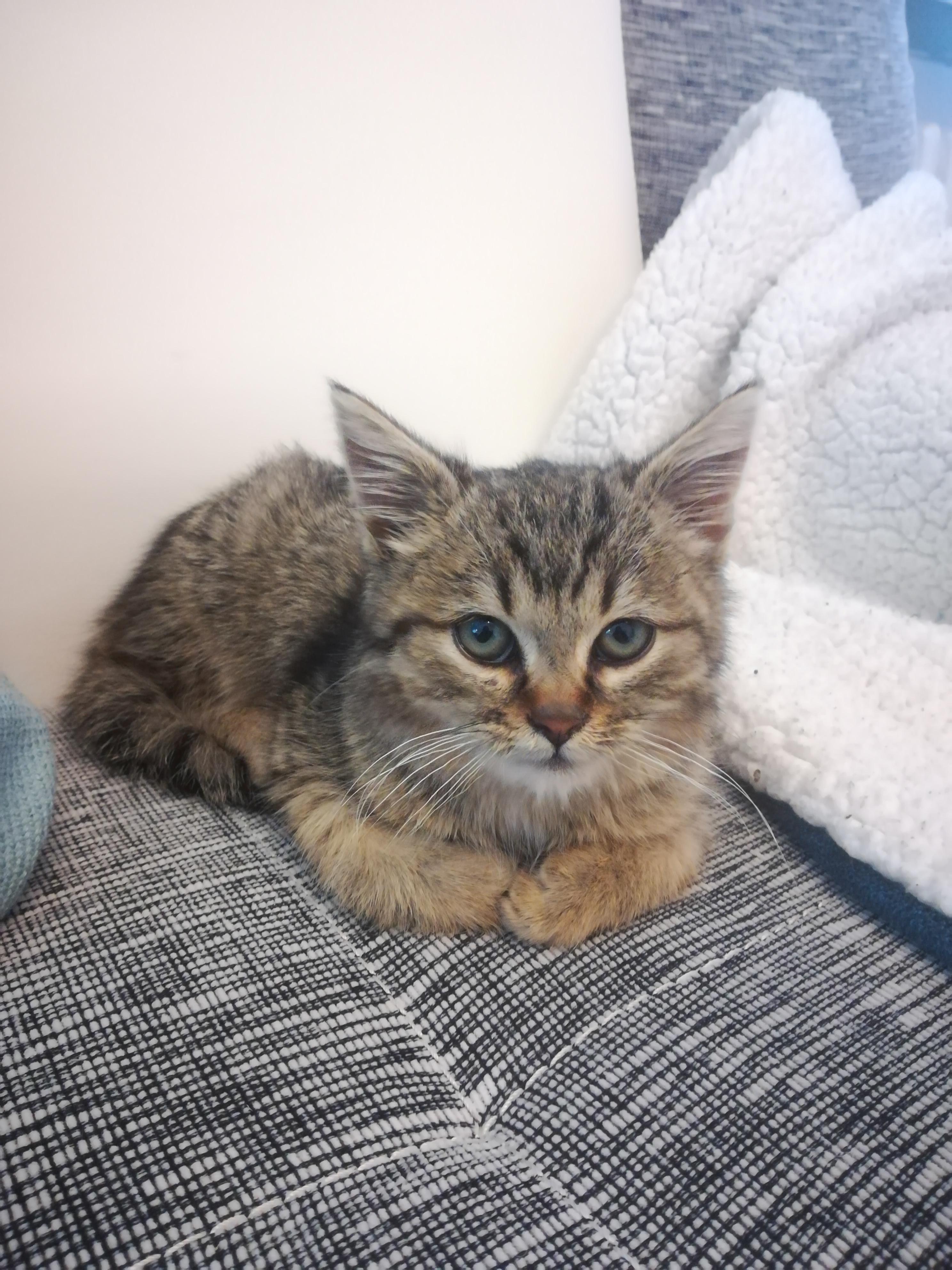 Very Polite Kitten In 2020 Kitten Meowing Kitten Kittens Cutest