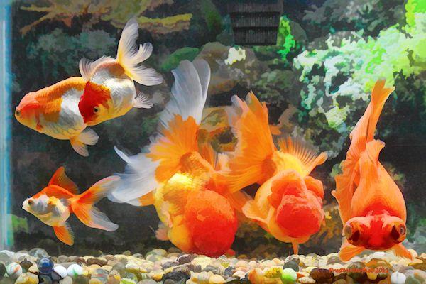 Calico Fancy Goldfish Goldfish Goldfish Species Fantail Goldfish