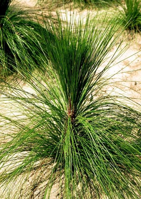 "2 LBS LONGLEAF PINE NEEDLES FOR COIL BASKETRY WEAVING /& CRAFTS 8/"" to 10/"" LONG"